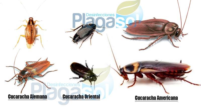 tipos-cucarachas